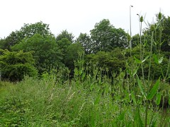 Massed teasel (Phil Gayton) Tags: uk river thistle devon teasel dart cirsium totnes dipsacusfullonum