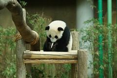 10-month-old Nuan Nuan () 2016-06-17 (kuromimi64) Tags: bear zoo panda malaysia nationalzoo kualalumpur giantpanda   zoonegara       nuannuan selangordarulehsan  zoonegaramalaysia