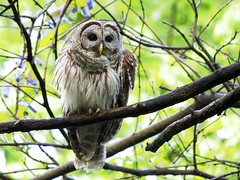 Owl Sees All (zenjazzygeek) Tags: forest spring olympus panasonic owl omd barred 100300mm