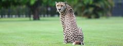 20130505 5DIII Panther Ridge-39 (James Scott S) Tags: animals cat canon scott james big eyes feline dof meetup florida wildlife iii s ridge spots ii wellington l 5d cheetah fl jaguar judy panther 70200 f28 ef lr4