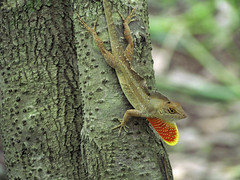 """If you got it, flaunt it!"" (cheroberta123) Tags: florida lizard gulfcoast myakkastatepark specanimal cheroberta123"