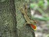 """If you got it, flaunt it!"" (cheroberta123) Tags: florida lizard gulfcoast myakkastatepark specanimal cheroberta123"