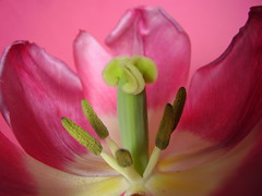 May2013 05 Tulip (monica_meeneghan) Tags: flowers spring ngc perfectpetals flowersorinsectsmacro naturescarousel chariotsofartists chariotsofartists2