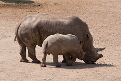 The circle of life? (j.elemans) Tags: life holland nature zoo poetry poem sony arnhem ancestor burgers rhino dna offspring gelderland a300 blinkagain