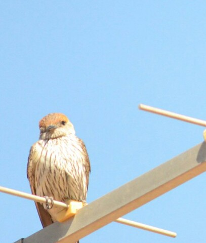 Grootstreepswael / Greater Striped Swallow (Hirundo cucullate).