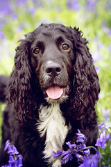 In and out de dustee bluebells! (cor_alee) Tags: dog black english bluebells woods harvey spaniel cocker isle wight