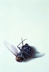 42-15407870 (gonz portas) Tags: animal animals insect death fly back nobody whitebackground studioshot copyspace delicate invertebrate housefly adultanimal