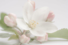 Apple Light (rosejones1uk) Tags: light white flower spring focus soft exposure blossom ethereal buds gentle macromonday