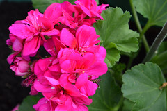 Hot pink (KirstyF.1) Tags: life lighting camera pink flowers blue school light red summer sky sun hot cold colour tree green love nature water beautiful beauty face grass leaves yellow bluebells cat garden dead fun outside outdoors happy death photo spring cool model nikon exposure pretty purple natural bright wind gardening body exploring magic flash under over fresh land bloom buds alive colourful joyful gel exposed chimes webs edit mellow blooming contrasted waterfull thriving d3200