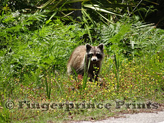 Raccoon (Fingerprince Prints) Tags: nature hiking wildlife raccoon