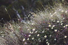 flowers at the edge of the world. (sara.claire) Tags: flowers cliff white nature grass vintage pretty purple australia outback whit