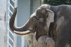 Ueno Zoological Gardens Laughing Asian elephant (tomohanda) Tags: japan tokyo    uenozoologicalgardens   e55210mmf4563oss nex5r