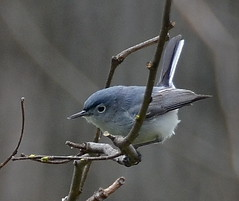 Blue-gray gnatcatcher (psiegle) Tags: thegrove bluegraygnatcatcher