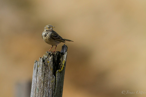 The Golden Meadow Pipit (Antheus pratensis / þúfutittlngur)