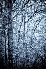 A frost covered decidious forest. (DigiDreamGrafix.com) Tags: snowflake winter white snow tree ice horizontal closeup pine forest frost branch snowy many background seasonal frosty evergreen needle covered twig icy wonderland treeline winterland lots snowcovered frosted wintery completly decidious