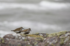 Dunlin (Donald Beaton) Tags: uk red sea two bird beach birds animals canon point coast scotland ross rocks waves wildlife pair atlantic waders redpoint wester birdlife 450d 55250
