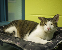 Avril (AbbyB.) Tags: rescue cat feline kitty adopt mtpleasantanimalshelter