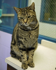 Simon_02 (AbbyB.) Tags: rescue cat feline kitty adopt mtpleasantanimalshelter
