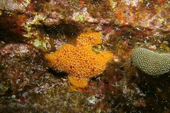 orange stylinos (BarryFackler) Tags: ocean life sea nature water ecology animal coral fauna island hawaii polynesia bay marine underwater pacific being dive scuba diving sealife pacificocean tropical marinebiology diver z bigisland aquatic reef sponge creature biology undersea kona ecosystem coralreef invertebrate marinelife zoology seacreature marineecology organism honaunau konacoast hawaiicounty southkona hawaiiisland 2013 marineinvertebrate honaunaubay marineecosystem westhawaii konadiving bigislanddiving hawaiidiving sealifecamera poecilosclerida barryfackler barronfackler stylinossp orangestylinos