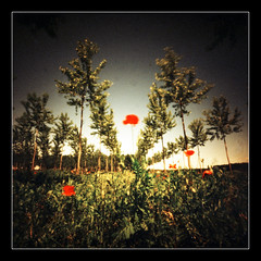 Poppies day (2013) # 4 (Roberto Messina photography) Tags: film xpro pinhole filter expired sephia zero2000 velvia50