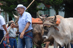 Farmer Leading his Oxen (B.Polon) Tags: latinamerica animal cowboys photo costarica cowboy village ox oxen yoke ticos sarchi yoked d80 oxcartfestival tierrasmorenas
