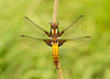 Broad Bodied Chaser (Chris Beard - Images) Tags: nature dragonflies dragonfly wildlife insects wiltshire cotswoldwaterpark odonata broadbodiedchaser lowermoorfarm