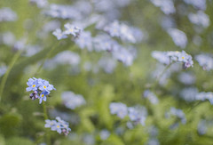 Forget-me-nots (textured) (Emma_Seward) Tags: blue flower green texture garden spring textured forgetmenots