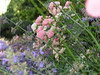 It was all a blur (aniko e) Tags: pink flowers blue summer plants spring explore500 floralappreciation