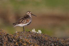 Dunlin Calidris alpina (Peregrine's Bird Photography) Tags: bird birds aves nash dunlin calidrisalpina avifauna codown bird photography images birds ireland photographer killard craig blog wwwperegrinesbirdblogblogspotcom photographybird nashcraig peregrines
