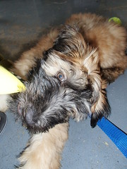 lemmie at it (skittlbrau) Tags: dog puppy almar softcoatedwheatenterrier barkbox gozerthedestructor