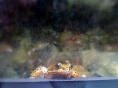 How much is that froggy in the window? (charlottehbest) Tags: window animal frog surprise froggy 2013 charlottehbest