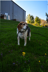 DSC_0250 (johnjmurphyiii) Tags: dog beagle spring connecticut industrialpark cromwell fletch originaljpeg johnjmurphyiii