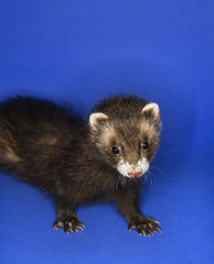 Portrait of brown ferret. (tommynguyen1957) Tags: blue portrait pet color animal mammal ferret posed nobody indoors photograph copyspace polecat oneanimal animalsandwildlife exoticpet brownferret