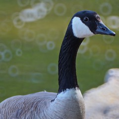 Mill Lake Canada Goose (James Inglis) Tags: park canada nature canon bc abbotsford
