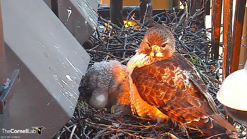 EZ on nest in morning sun3