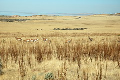 15 - Pronghorns (Scott Shetrone) Tags: animals utah events places antelopeisland mammals 7th pronghorns anniversaries