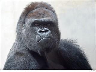 Gorilla 'Kibo'
