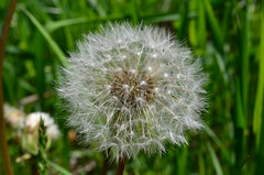 The world within a dandelion (Reigh LeBlanc) Tags: park family plant ontario macro fruits up closeup french spring close head fine meadows seed dandelion mature credit micro lions flowering clocks spherical hairs genus taraxacum blowball dentdelion achene asteracea singleseeded toothflower