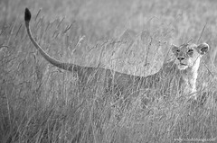 _MG_5253-Edit_1000 (bnilesh) Tags: kenya masaimara