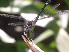 Dragonfly (Dis da fi we) Tags: dragonfly puntagorda toledodistrict belize toledo hickateebelize hickateepuntagorda jungle rainforest forest wildlife culture cottages hickatee
