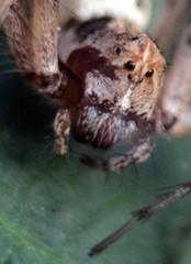 Lynx Spider (scismgenie) Tags: macro spider lynx scism jeffscism