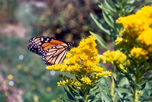 Photo - Goldenrod with Monarch Butterfly