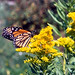 Goldenrod with Monarch Butterfly
