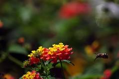 Arrivo (catest79) Tags: flower macro vespa pentax sigma fiori 70300mm capo sicilia dorlando k20d