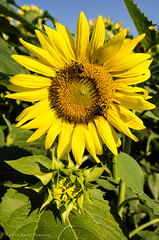 Buttonwood Sunflowers (alohadave) Tags: flowers plants animals insect unitedstates connecticut bees places sunflowers northamerica meetups griswold buttonwoodfarm southshorecameraclub pentaxk5 sunflowers2013