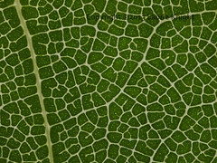 Bay Leaf (laurie.knight) Tags: bay stack laurel bayleaf nobilis micrograph focusstack microphotograph baylaurel laurus zerene laurusnobilis zerenestacker