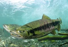 Close Comfort (Fish as art) Tags: canada britishcolumbia salmon explore lax bellacoola biodiversity chumsalmon lohi unterwasserfotografie salmonrivers britishcolumbiasalmon salmonconservation underwaterphotographypaulvecsei riesigenlachs