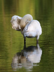 Ca gratouille ou ça chatouille ? **--- °--° (Titole) Tags: white reflection green bird swan wing reflet cygne gamewinner explored friendlychallenges thechallengefactory titole nicolefaton