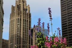 A Tribune Tower admirer (aerojad) Tags: flowers summer chicago flower bestof tribunetower chicagoist