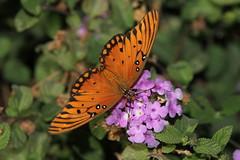 Gulf Fritillary (Agraulis vanillae) (Robert Ivens) Tags: california home yard butterfly lepidoptera fresno